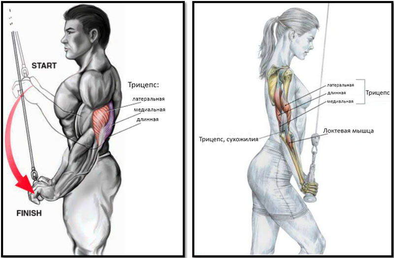 Разгибание рук с верхнего блока – задействованные мышцы